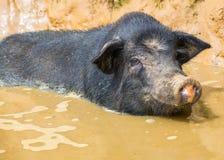 Vietnamese pig Stock Photos