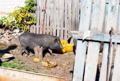 Vietnamese pig in the village yard Royalty Free Stock Photos