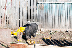 Vietnamese pig in the village yard Stock Image