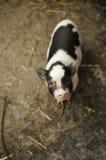 Vietnamese piglet Royalty Free Stock Photography