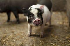 Vietnamese piglet Stock Photography