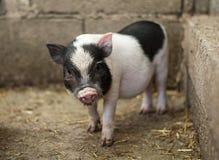 Vietnamese piglet Royalty Free Stock Photo