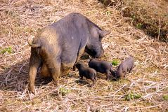 Vietnamese pigs Royalty Free Stock Photos