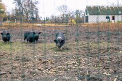 Vietnamese Pigs Behind A Mesh Fence On A Farm Royalty Free Stock Images