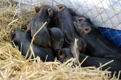 Vietnamese pigs Stock Image