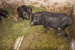 Vietnamese pigs Royalty Free Stock Photography