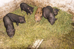 Vietnamese pigs. Royalty Free Stock Images