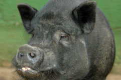 Vietnamese Pot Bellied Pig Royalty Free Stock Photo
