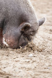 Vietnamese Pot-Bellied Pig Royalty Free Stock Photos