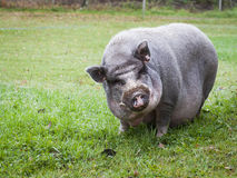 Vietnamese Pot-Bellied Pig Royalty Free Stock Image