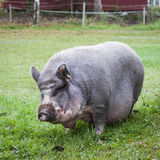 Vietnamese Pot-Bellied Pig Stock Photography