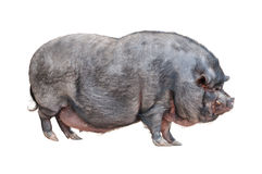 Vietnamese Pot-bellied pig cutout. Vietnamese Pot-bellied pig isolated on white background stock photography