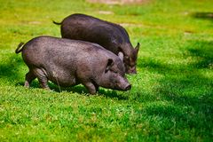 Vietnamese Pot-bellied pig on the farm.  royalty free stock photography