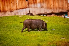 Vietnamese Pot-bellied pig on the farm.  royalty free stock image