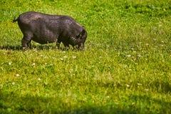 Vietnamese Pot-bellied pig on the farm.  royalty free stock photos