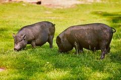 Vietnamese Pot-bellied pig on the farm.  stock photos