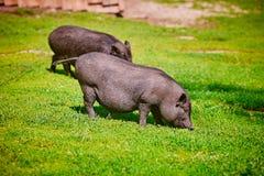 Vietnamese Pot-bellied pig on the farm.  stock photo