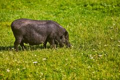 Vietnamese Pot-bellied pig on the farm.  stock images