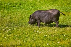 Vietnamese Pot-bellied pig on the farm.  royalty free stock images