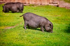 Vietnamese Pot-bellied pig on the farm.  royalty free stock photo