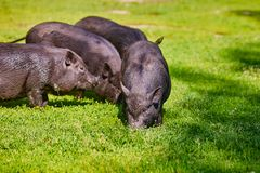 Vietnamese Pot-bellied pig on the farm.  stock image