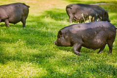 Vietnamese Pot-bellied pig on the farm.  stock photography