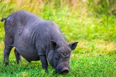 Vietnamese Pot-bellied pig stock images
