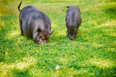 Vietnamese Pot-bellied pig graze on the lawn with fresh green g. Rass royalty free stock photo