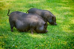 Vietnamese Pot-bellied pig graze on the lawn with fresh green grass. Vietnamese Pot-bellied pig graze on the lawn with fresh green grass stock image