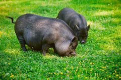 Vietnamese Pot-bellied pig graze on the lawn with fresh green grass. Vietnamese Pot-bellied pig graze on the lawn with fresh green grass royalty free stock photography