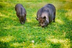 Vietnamese Pot-bellied pig graze on the lawn with fresh green grass. Vietnamese Pot-bellied pig graze on the lawn with fresh green grass royalty free stock photos