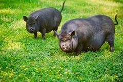 Vietnamese Pot-bellied pig graze on the lawn with fresh green grass. Vietnamese Pot-bellied pig graze on the lawn with fresh green grass stock images