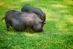 Vietnamese Pot-bellied pig graze on the lawn with fresh green g. Rass royalty free stock photos