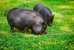 Vietnamese Pot-bellied pig graze on the lawn with fresh green g. Rass stock photo