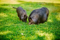 Vietnamese Pot-bellied pig graze on the lawn with fresh green grass. Vietnamese Pot-bellied pig graze on the lawn with fresh green grass royalty free stock photo