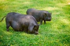 Vietnamese Pot-bellied pig graze on the lawn with fresh green grass. Vietnamese Pot-bellied pig graze on the lawn with fresh green grass stock photos