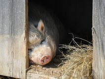 A Vietnamese pot bellied pig on a farm stock photography