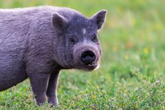 Vietnamese Pot-bellied pig royalty free stock photography