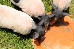 Vietnamese Pot Belly piglet Royalty Free Stock Images