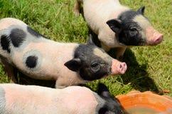 Vietnamese Pot Belly piglet Stock Photo