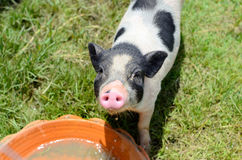 Vietnamese Pot Belly piglet Stock Photos