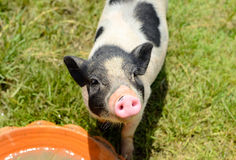 Vietnamese Pot Belly piglet Stock Photo