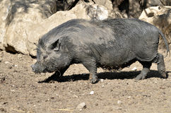 Vietnamese potbellied pig Royalty Free Stock Images