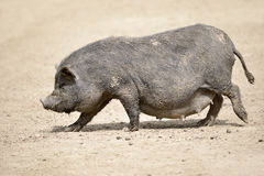 Vietnamese potbellied pig Stock Photography