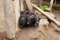 Vietnamese potbellied pigs. Vietnamese black potbellied pigs in the village of Sapa, North Vietnam Stock Image