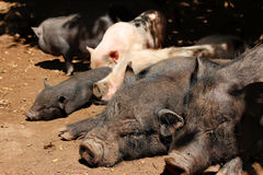 Vietnamese potbellied pigs Royalty Free Stock Photography