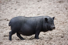 Vietnamese Potbelly Pig Royalty Free Stock Photos