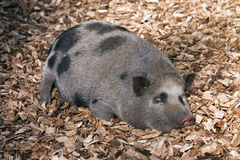 Vietnamese Potbelly Pig Stock Photo
