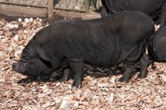 Vietnamese Potbelly Pig Royalty Free Stock Photography