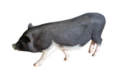 Vietnamese Potbelly Pig Stock Images